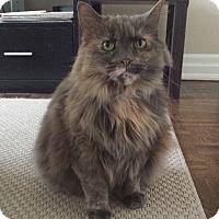 Domestic Longhair Cat for adoption in Toronto, Ontario - Tea