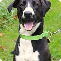 Adopt A Pet :: Vinnie - Chester Springs, PA