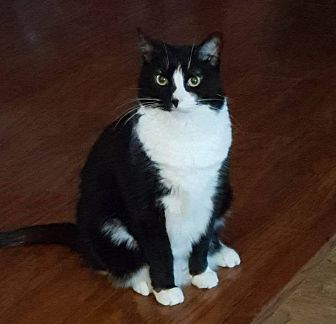 Domestic Shorthair Cat for adoption in Saranac Lake, New York - Paige *Courtesy Posting*