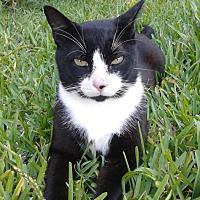 Domestic Shorthair Cat for adoption in Ocala, Florida - Brooklyn