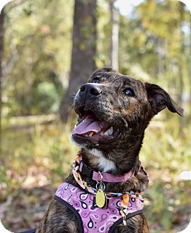 Boxer/Catahoula Leopard Dog Mix Puppy for adoption in Summerville, South Carolina - Fiona