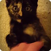 Domestic Shorthair Kitten for adoption in Garland, Texas - Phoebe