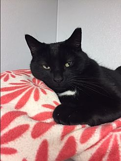 Domestic Shorthair Cat for adoption in Harrison, New York - Tommy