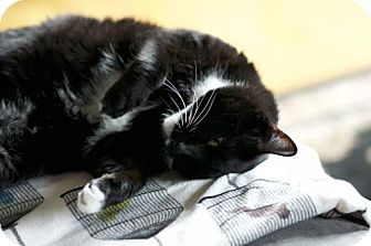Domestic Shorthair Cat for adoption in Somerville, Massachusetts - Bobo