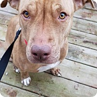 Adopt A Pet :: IZZY - Plainfield, IL