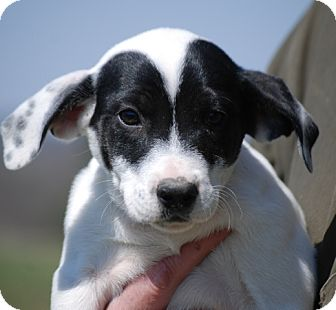 Coonhound Mix Puppy for adoption in Providence, Rhode Island - Evie