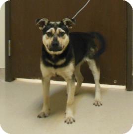 German Shepherd Dog Mix Puppy for adoption in Gary, Indiana - Rocket