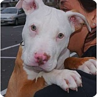 Adopt A Pet :: Romeo - Reisterstown, MD