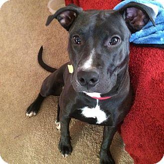 Pit Bull Terrier/Labrador Retriever Mix Dog for adoption in Columbus, Ohio - Onyx Noel