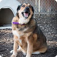 Shepherd (Unknown Type) Mix Dog for adoption in Plano, Texas - Sachse