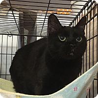 Domestic Shorthair Cat for adoption in Fallbrook, California - Melissa Samantha