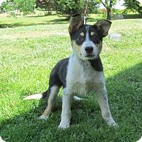 Adopt A Pet :: DURANGO 'TEXAS HEELER' - WOODSFIELD, OH