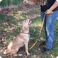 Adopt A Pet :: Blue- GreatFamilyDog - Gaffney, SC