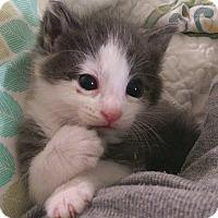 Adopt A Pet :: Chapel and Wolfie - Kirkland, WA