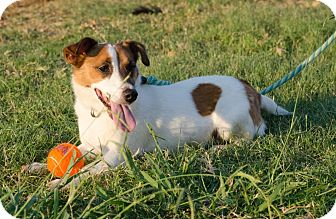 Jack Russell Terrier Dog for adoption in Dallas/Ft. Worth, Texas - AJ in Denton