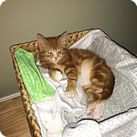 Adopt A Pet :: ROLLO, Ginger marbled tabby kitten with white - Harrisburg, PA