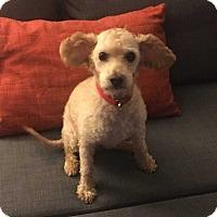 Adopt A Pet :: Shelton/Adoption Pending - Mooresville, NC