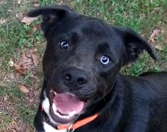 Labrador Retriever Mix Dog for adoption in Winder, Georgia - Blue