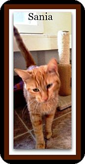 Domestic Shorthair Cat for adoption in Tombstone, Arizona - Sania