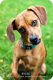 Beagle Mix Puppy for adoption in Appleton, Wisconsin - Rylee