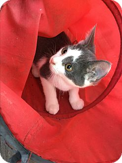 Domestic Shorthair Kitten for adoption in Burlington, Ontario - Stanley