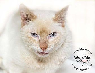 Siamese Cat for adoption in Belton, Missouri - Caspurr