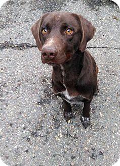 Labrador Retriever Dog for adoption in Sauk Rapids, Minnesota - Carl