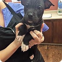 Adopt A Pet :: Ash - Dublin, CA