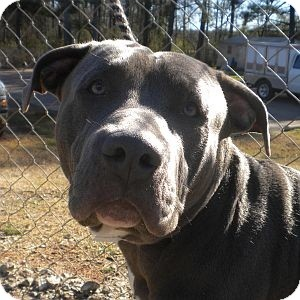Mastiff/Pit Bull Terrier Mix Dog for adoption in Athens, Georgia - Kyser
