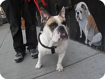 English Bulldog Dog for adoption in New York, New York - Missy