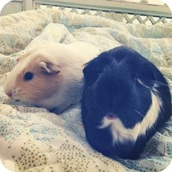 Guinea Pig for adoption in Fullerton, California - Blossom and Daisy