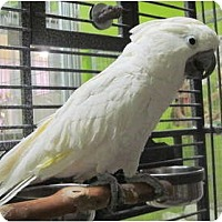 Cockatoo for adoption in Edgerton, Wisconsin - Winston