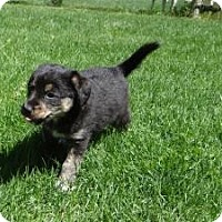 Adopt A Pet :: baby Ginger - Marlton, NJ