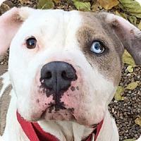 Adopt A Pet :: Po'Boy - Kansas City, MO