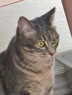Domestic Shorthair Cat for adoption in Prescott, Arizona - Ghost