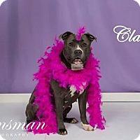 Adopt A Pet :: Clara - Southampton, PA