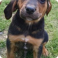 Adopt A Pet :: Simon - Richmond, VA