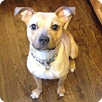 Adopt A Pet :: FERGIE - Birmingham, MI