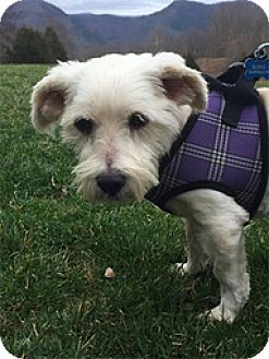 Westie, West Highland White Terrier Mix Dog for adoption in Spring City, Tennessee - Wrangler