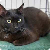 Adopt A Pet :: Lemmy - Merrifield, VA