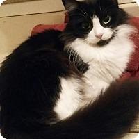 Domestic Mediumhair Cat for adoption in Ashland, Ohio - Precious