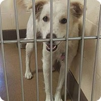 Adopt A Pet :: Abby - Las Vegas, NV