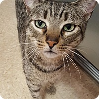 Adopt A Pet :: Tiger - Winchendon, MA