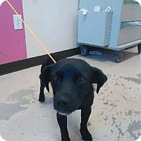 Adopt A Pet :: Shadow - Rockville, MD
