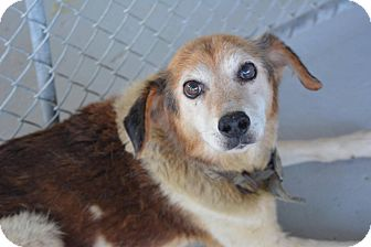 Beagle/Collie Mix Dog for adoption in Virginia Beach, Virginia - Benji