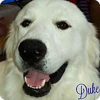 Adopt A Pet :: Duke (Austin Region) - Kyle, TX