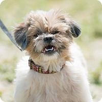 Shih Tzu Mix Dog for adoption in BELL GARDENS, California - AMBER