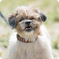Adopt A Pet :: AMBER - BELL GARDENS, CA