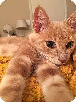 Domestic Shorthair Kitten for adoption in Cincinnati, Ohio - Bodhi