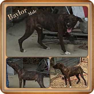 Catahoula Leopard Dog Mix Dog for adoption in Manchester, Connecticut - Baylor  meet me 10/28